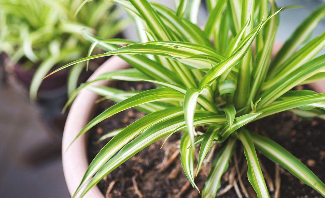 گیاهان تصفیه کننده خانگی