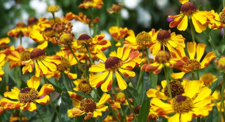 گل راسن تلخ یا زنجبیل شامی Helenium