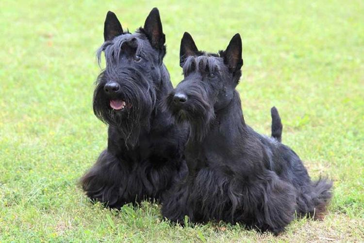 سگ نگهبان اسکاتیش تریر