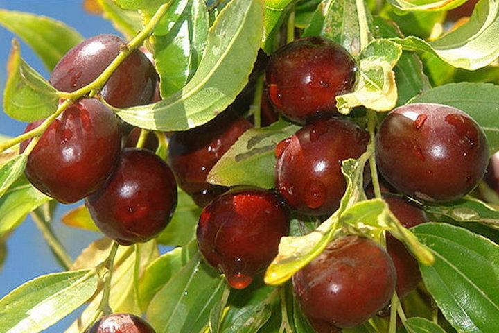 درخت میوه