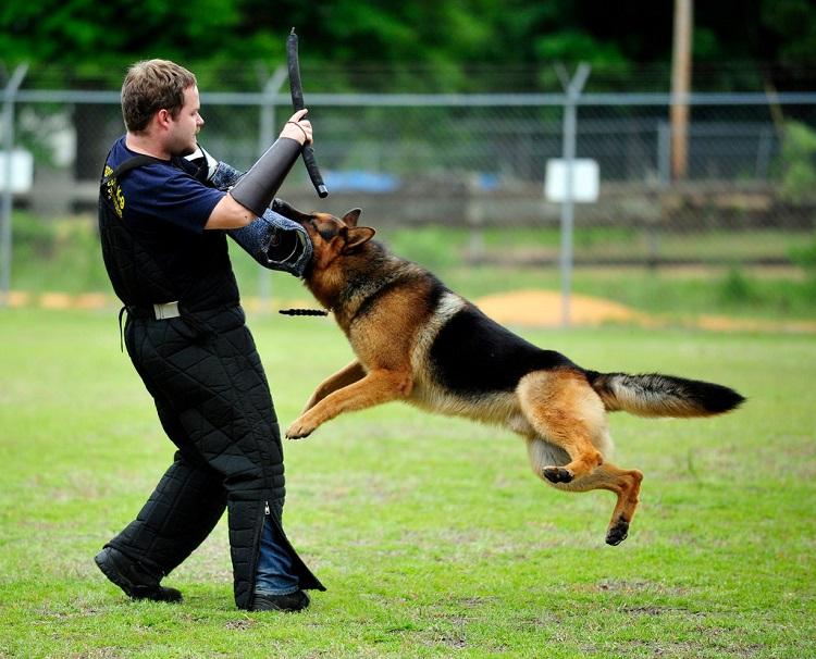 بهترین نژاد سگ نگهبان ژرمن شپرد